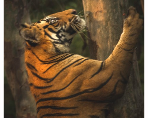 Bandhavgarh- Will it remain tiger capital?