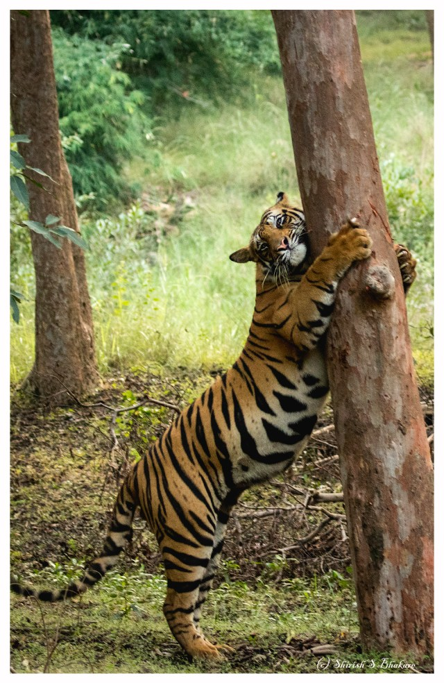 tree hug tiger.jpg