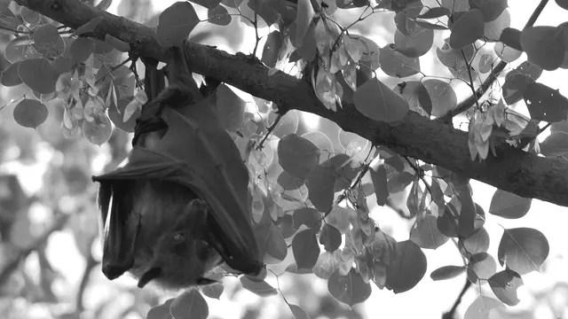木にぶら下がる蝙蝠 コウモリ