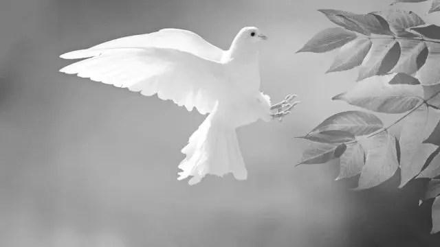 羽ばたく白い鳩