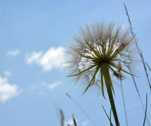 Dandelion-Blue-Sky (1)
