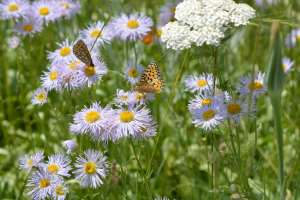 2014-7Butterflies on Blue Daisies6