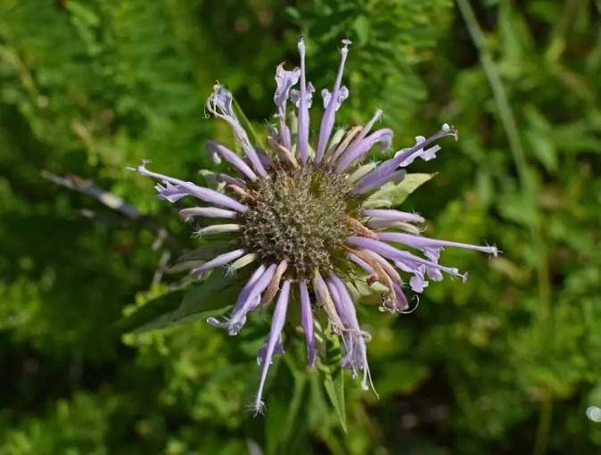 Fleur de bergamote