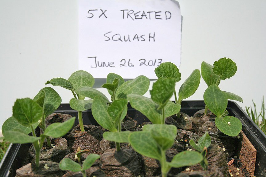 Photo of Squash Plants That Received Energy Transmissions