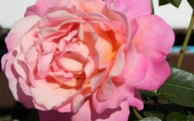 Rose – Life Cycles