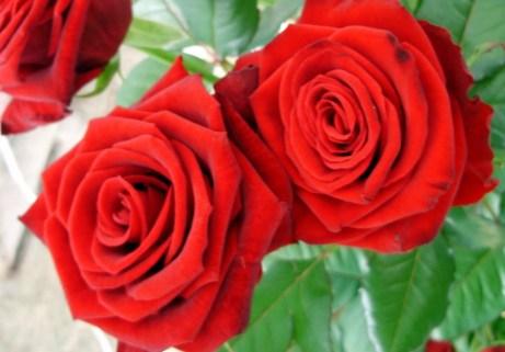 Το έντονο κόκκινο χρώμα στα τριαντάφυλλα σημαίνει πάθος, έρωτας και αγάπη.