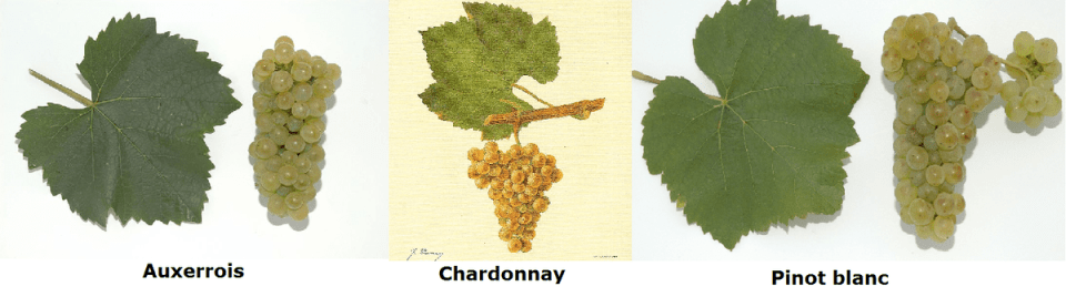 Auxerrois photo from Bauer Karl released on Wikimedia Commons under   CC-BY-3.0-AT; Chardonnay photo  from Viala und Vermorel 1901-1910 (Ampélographie. Traité général de viticulture) released under the Public Domain; Pinot blanc photo By Bauer Karl - Own work, CC BY 3.0