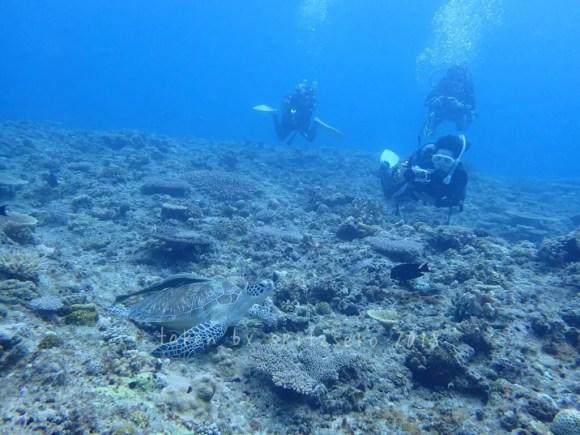 万座の海ではウミガメに頻繁に出会えます