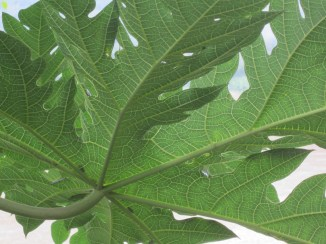 Papaya leaf. So. Much. Detail.