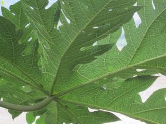 Papaya leaf. So. Much. Detail.