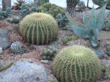 Barrel cacti look like sea urchins.