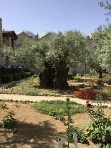 Olive tree, garden of Gethsemane