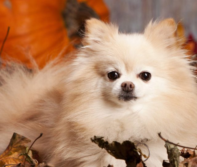 Four Pomeranian Haircuts For Dog Lovers