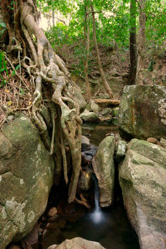 Strangler Fig - Jourama Creek
