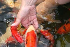 Koi pond ecosystem feeding fish