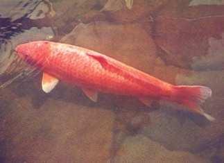 Difference koi goldfish Hanako