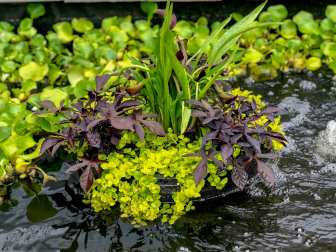 Floating Island among Water Hyacinths
