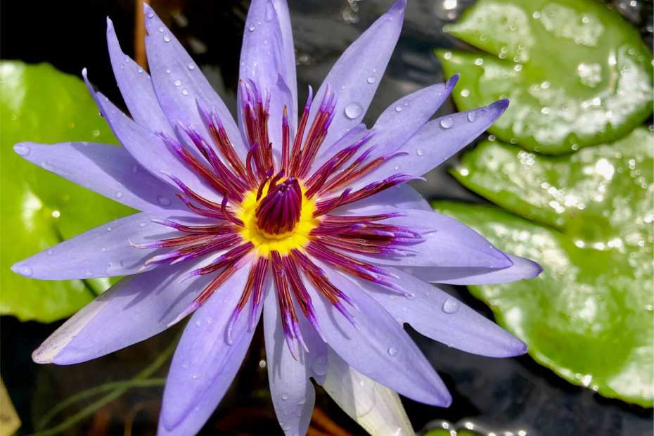 Wood's Blue Goddess Tropical Waterlily