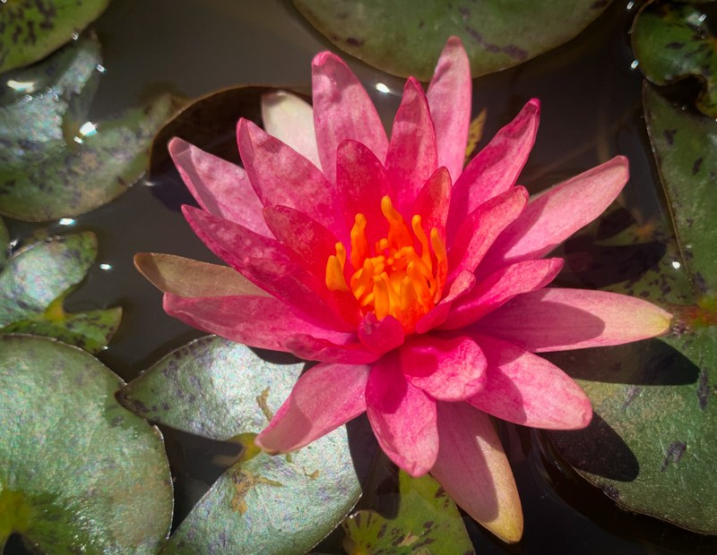 Little Sue Dwarf Hardy Waterlily