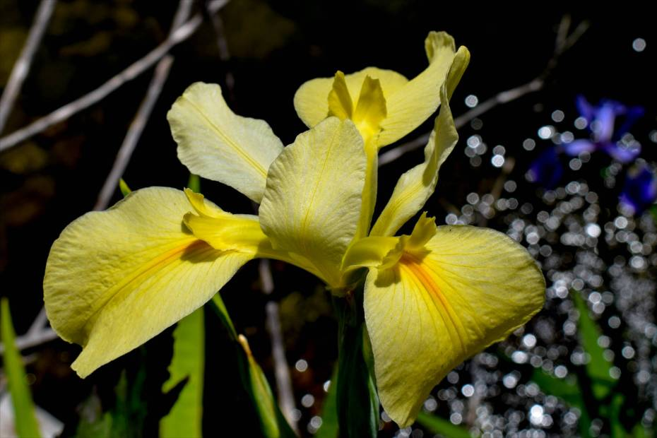 Yellow Iris Wow Factor Edit