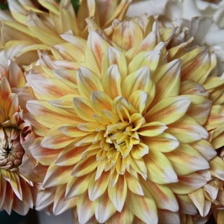 dallying with dahlias…..