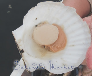 Salish Sea Scallops…