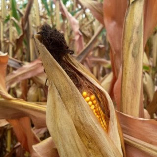 Miles of cornfields and the best fresh corn recipes…