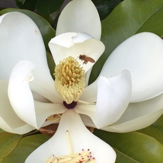 Magnolia magic and busy bees….