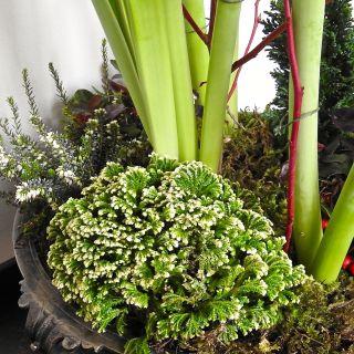 Indoor Amaryllis gardens…