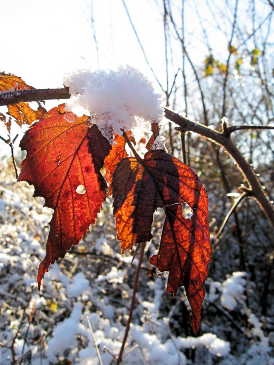 Iced Ragged Leaves