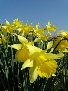 host of daffodils