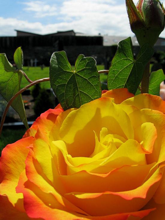 Sun rose - close up