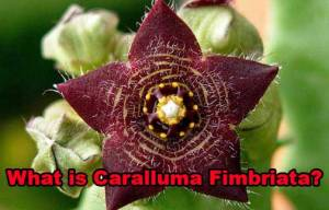 Caralluma Fimbriata: Hope or Hype?
