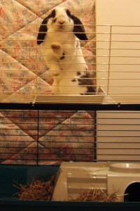 Chocolate likes to climb... she got on top of the cage (used as their bedroom, not shut up) - looks like a convict