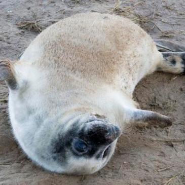 Seal Pups at Donna Nook