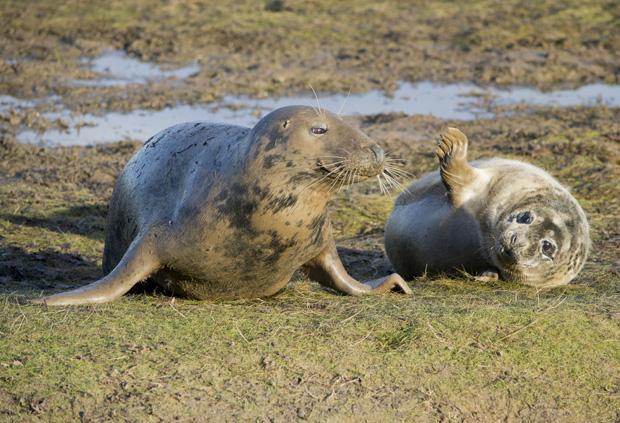 Seals at Donna Nook, Lincolnshire