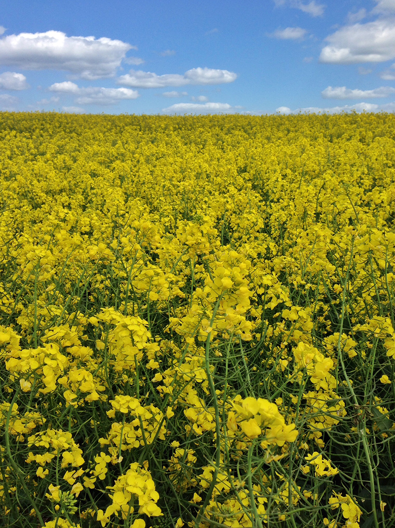 Lincoln, Lincolnshire - Inspirational Views Rapeseed