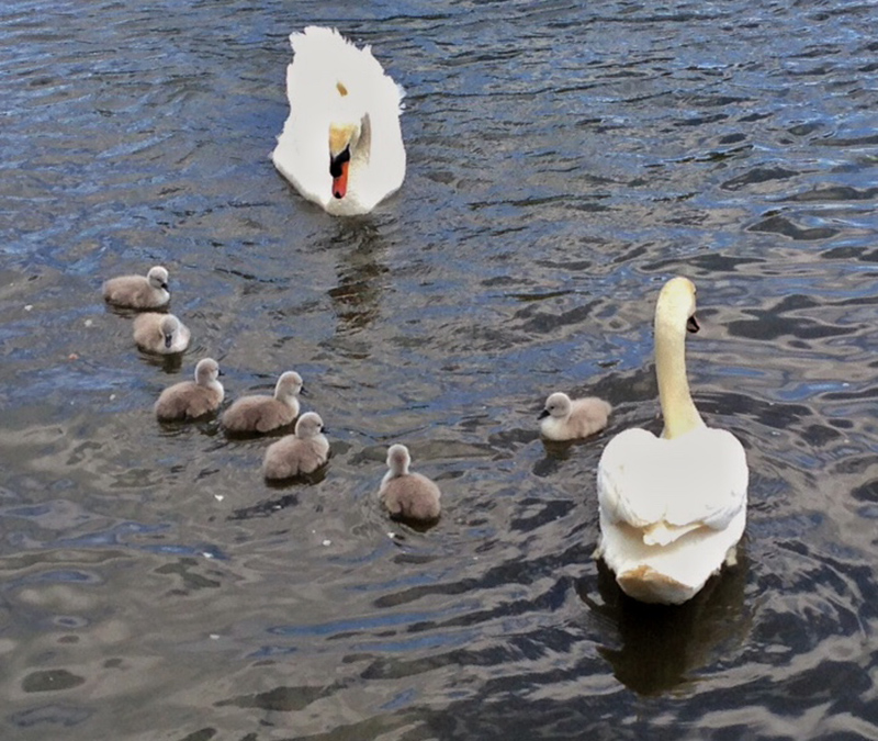 30DaysWild - Swans and Cygnets in Lincoln