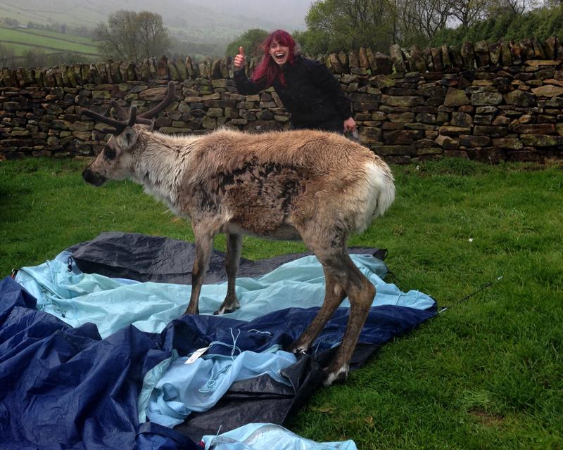 Reindeer in the Camping Field!