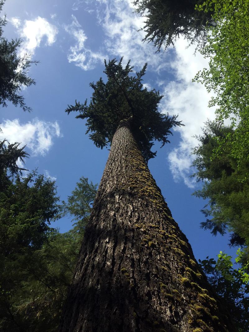 Zartusacan - Quinault Rainforest