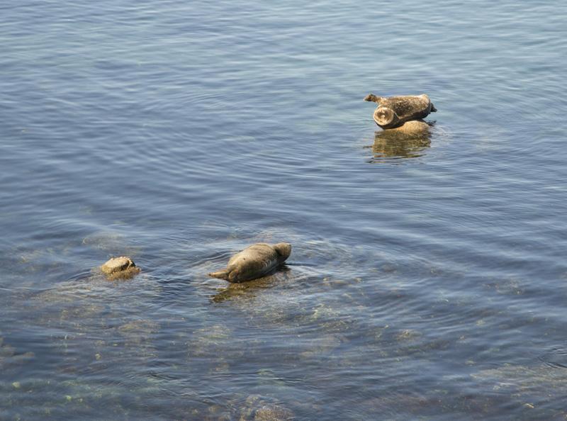 Zartusacan - Harbor Seals