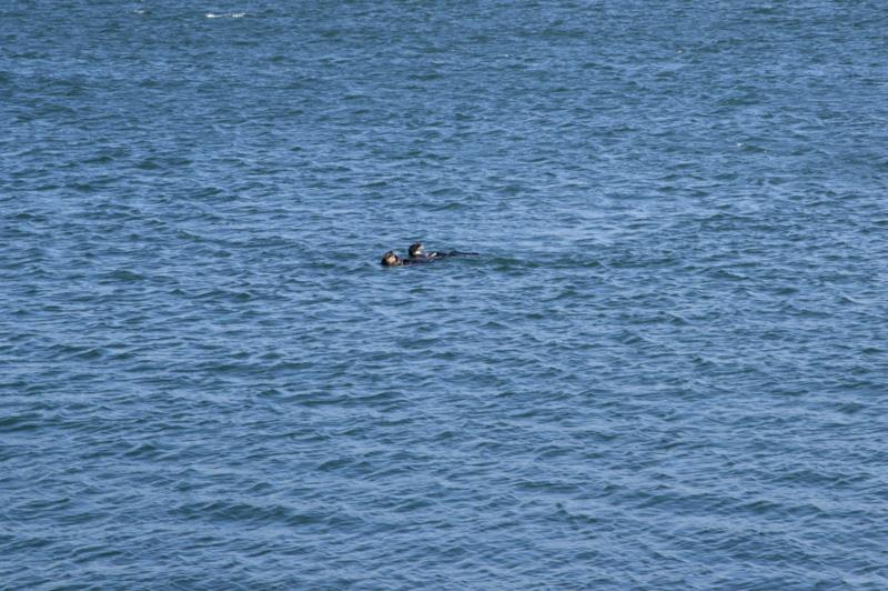 Zartusacan - Sea Otters