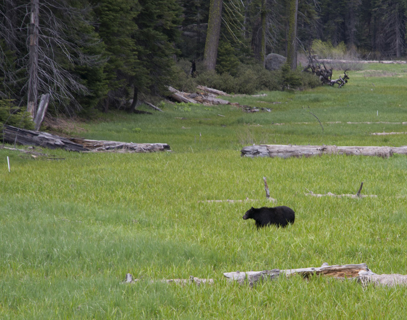 The General Sherman and a Black Bear