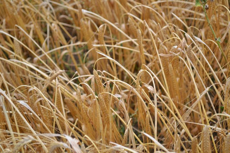 Farm Walk at Vine House Farm, Lincolnshire - Wheat for Animal Feed