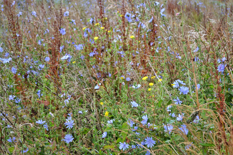 Farm Walk at Vine House Farm, Lincolnshire - Wild Flowers