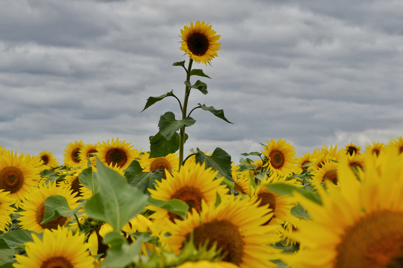 Sunflowers and Conservation at Vine House Farm, Lincolnshire