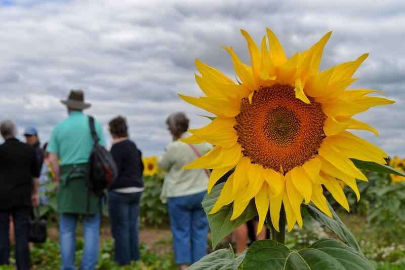 Farm Walk at Vine House Farm, Lincolnshire - Sunflower