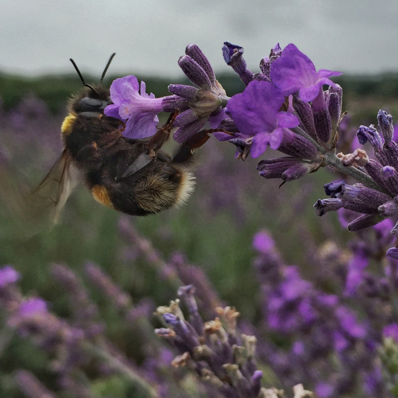 Thousands of Photos of Bees – Mayfields Lavender Farm