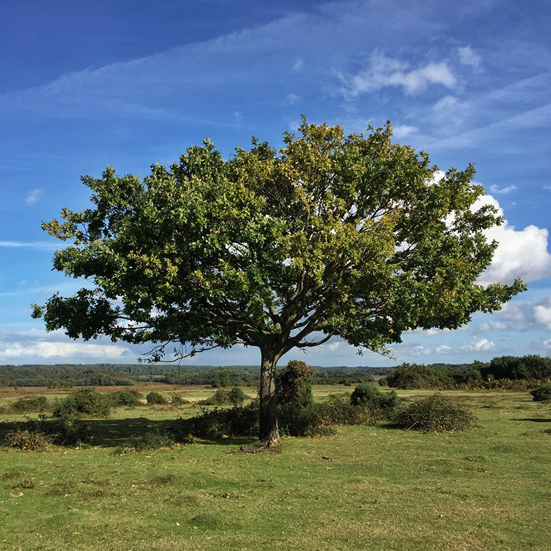 Tree in the New Forest with OS