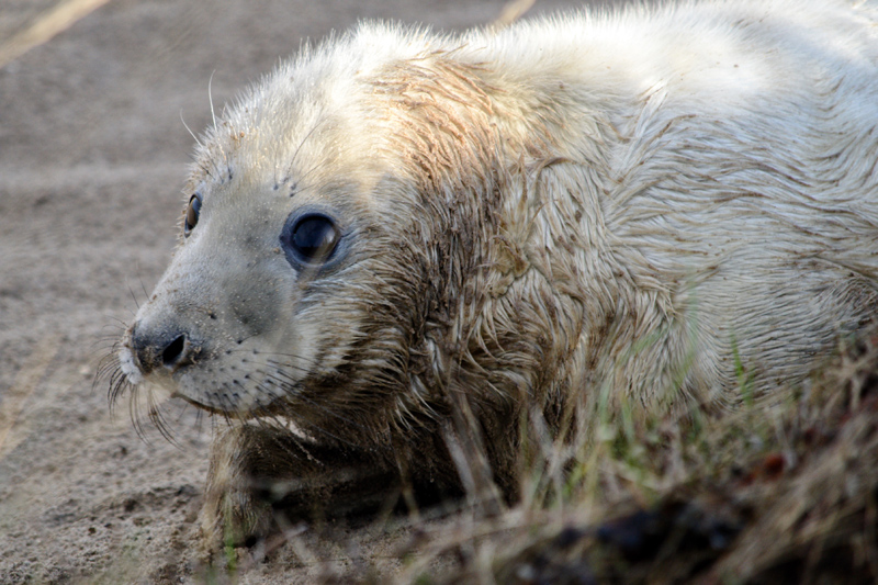 Seal Pups at Donna Nook, November 2016, Splodz Blogz